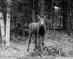 Moose calf regards photographer.