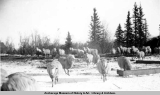 Domestic sheep, Matanuska Valley, c[a]. 1946.