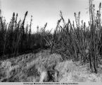 Frost slump near Hess Creek camp from ligh[t]ning fire prior to any pipeline activity.