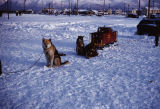 Sled dogs hooked to a toy railroad car.