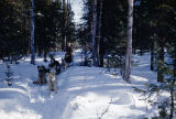 Vi Redington with dog team on Iditarod Trail between Flathorn and Knik.