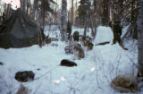 Sled dogs resting in forest beside a tent.