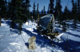 Joe Redington Sr.'s sled dogs and wing from Cessna 180 stopped along the trail during reclamation...