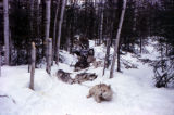 Dog team resting on the trail between Knik and Flat Horn Lake on the Iditarod Trail.
