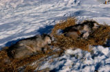 Dogs resting on beds of straw on the Iditarod Trail Sled Dog Race.