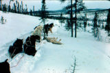 Dog team stopped on the Iditarod Trail.