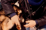 Iditarod Race veterinarian checking a sled dog foot.