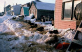Sled dogs resting in Nome after the Iditarod Trail Sled Dog Race.