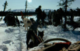 U.S. Army with dog teams marking the Iditarod Trail.