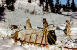 Dog team resting on the Iditarod Trail.