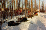 Joe Redington Sr. and dog team camped in Nulato on the Iditarod Trail Sled Dog Race.