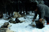 Musher feeding dog team that is camped in the woods.