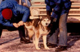 Two people examine foot of sled dog.