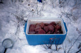 Cooler filled with Joe Redington Sr.'s meat paddies for sled dogs.