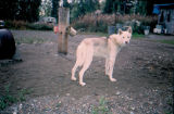 Silver, Joe Redington Sr.'s sled dog.