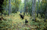 Susan Butcher with dog team in the fall, training on dirt and leaves.