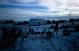 Dog teams camped out beside playground in village during Joe Redington Sr.'s Iditarod Challenge.