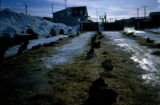 Dog teams bedded down in Nome after completing Joe Redington Sr.'s Iditarod Challenge.