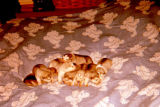 Malamute puppies on bed.