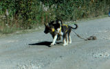 Two of Joe Redington Sr.'s sled dog pups in harnesses, learning how to pull.