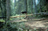 Sled dog walks across fallen tree.