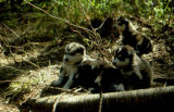 Four sled dog puppies.