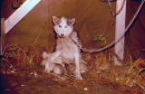 Sled dog nursing puppies next to tent-like structure.