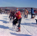Bea Posten preparing dog team for North American sprint race in Fairbanks.