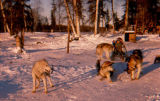 Keith Redington on dog sled with four dogs at the Redington Flathorn homestead.