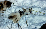 Sled dogs sleeping in the snow, wearing harnesses and connected to gangline.