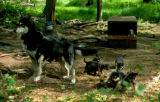 Mother sled dog with a litter of puppies, with one puppy in dog house in the background.