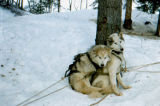Two sled dogs in harnesses connected to gangline next to a tree.