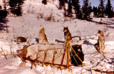 Sled dogs camping in the snow behind loaded dog sled.