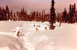 Joe Redington Sr.'s sled dogs camped in deep snow.