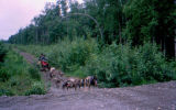 Training dogs in summertime with two mushers on four-wheeler ATV.
