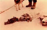 Dried fish and white fish on the snow beside sled dog and a musher's feet.