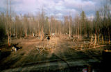 Joe Redington Sr.'s dog lot, with dog sleds in the forground.