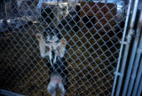Sled dog puppy inside pen, with paws on chain link fence.