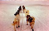 Joe Redington Sr.'s dog team on the trail between Koyuk and Elim on the Iditarod Trail.