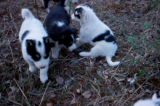 Black and white sled dog puppies.