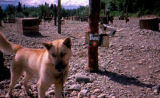 Lead dog Tang in Joe Redington Sr.'s dog yard.
