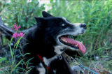 Black sled dog sitting in tall grass and wildflowers.