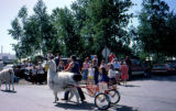 Llamas pulling carts holding young girls in formal dresses at the 1983 Wasilla Parade.