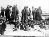 Eskimos divide walrus after hunt, Nome, Alaska.