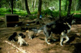 Sled dog and her puppies in yard in summer.