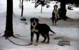 Two sled dog puppies in Joe Redington Sr.'s dog yard.