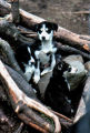 Three sled dog puppies in the roots and stump of a tree.