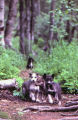 Three sled dog puppies next to ferns and fallen trees.