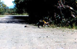 Two sled dog puppies in harness, on a dirt road.