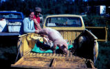 Man and woman hold the hind legs of a pig in a pickup.